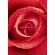 368 Rose