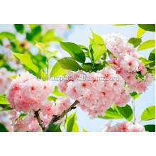 133 Sakura Blossom